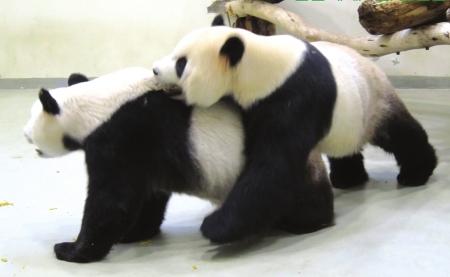 """""""团团""""和""""圆圆""""在台北动物园内首次接触图据新华社"""