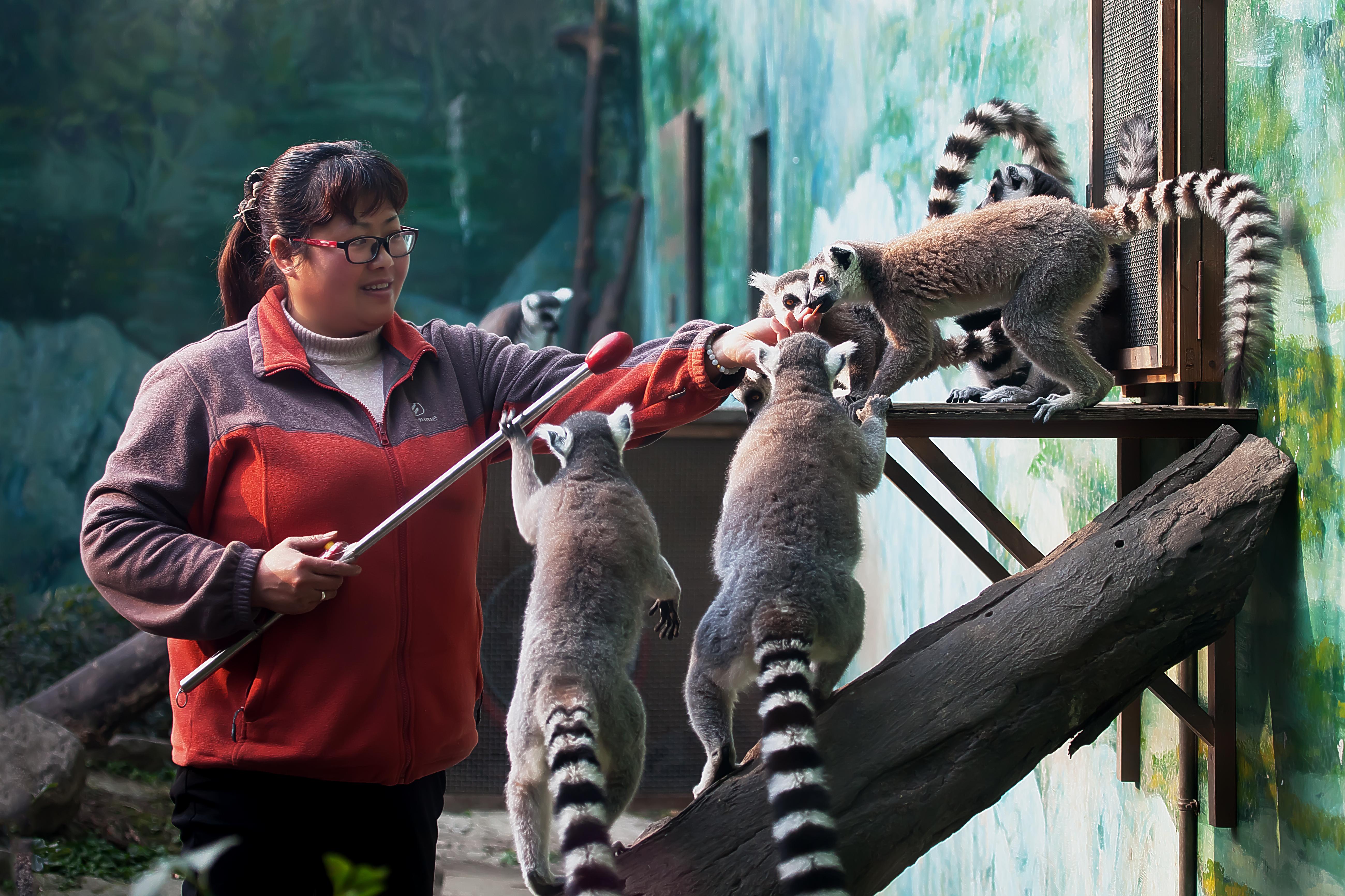饲养员鄢萍正在训练环尾狐猴.jpg