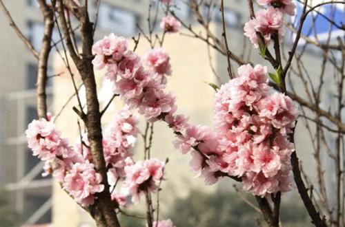 花重锦官城,成都街边的春光
